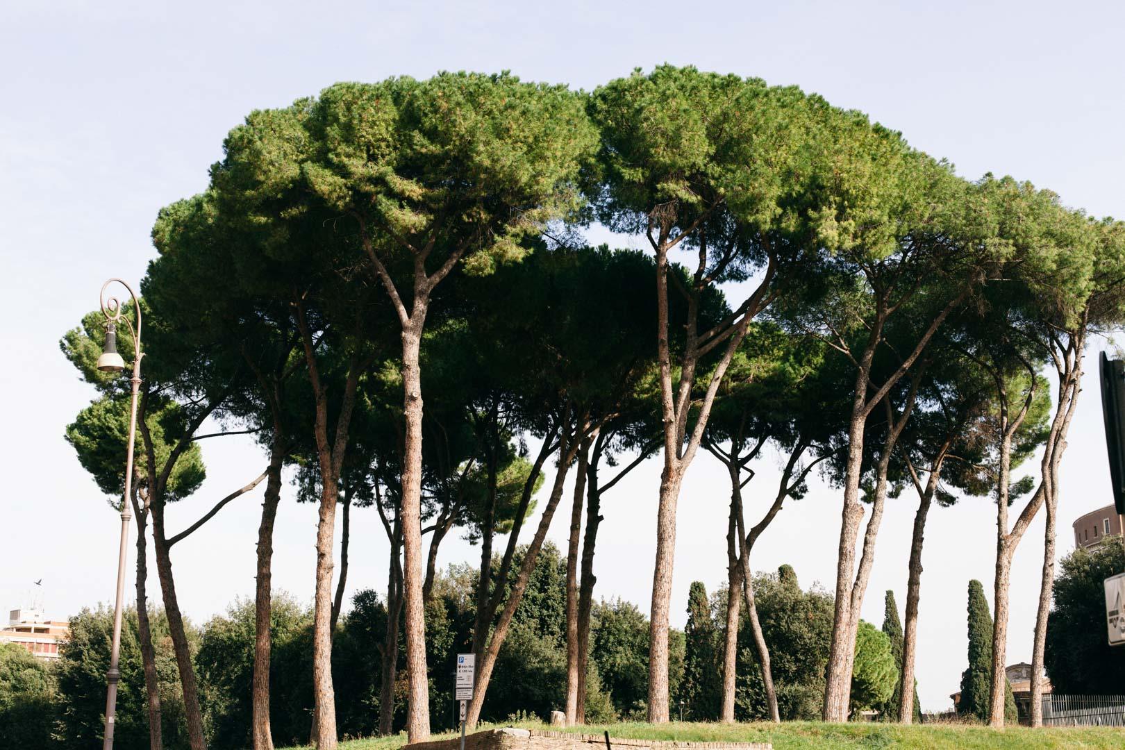 "The ""broccoli"" trees"