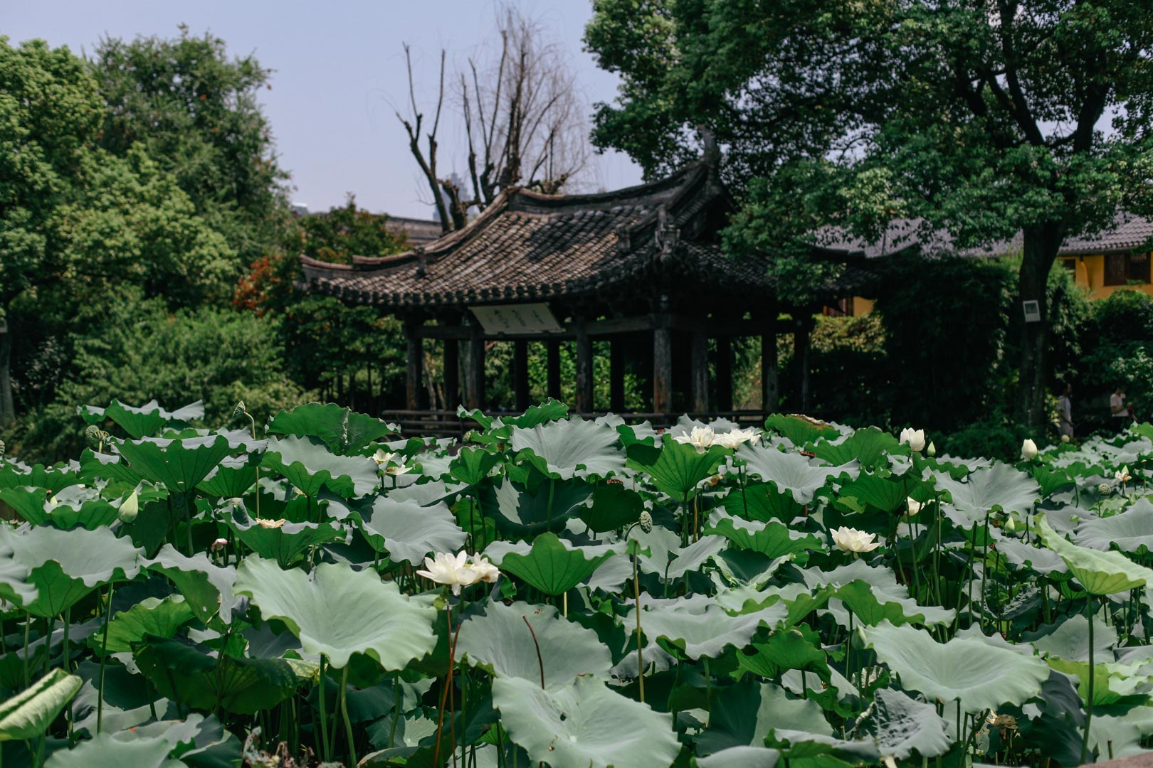 lesycomore-hangzhou-china-lotus
