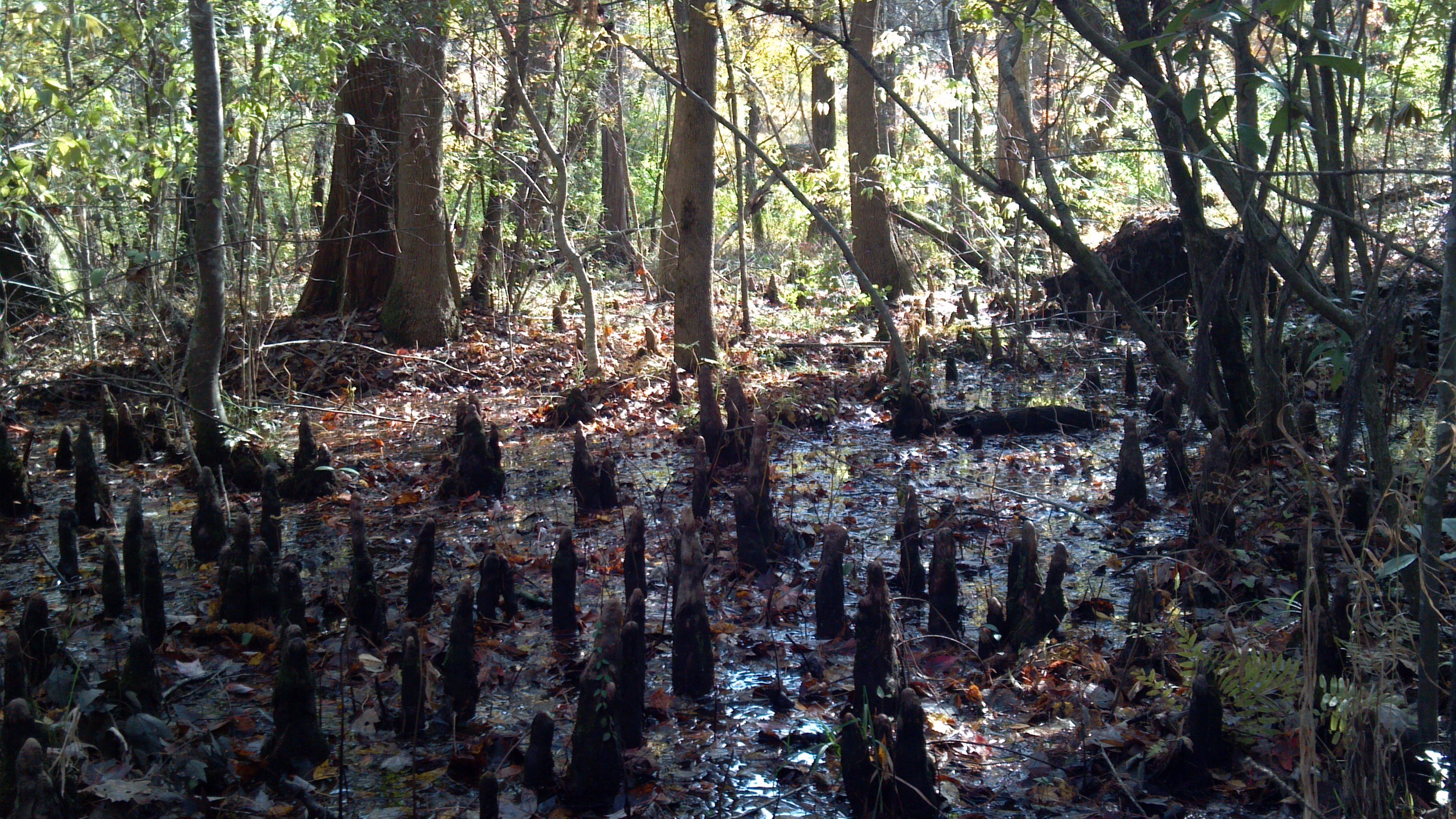 Cypress swamp ( Taxiodium distichum ) in Brunswick County, North Carolina