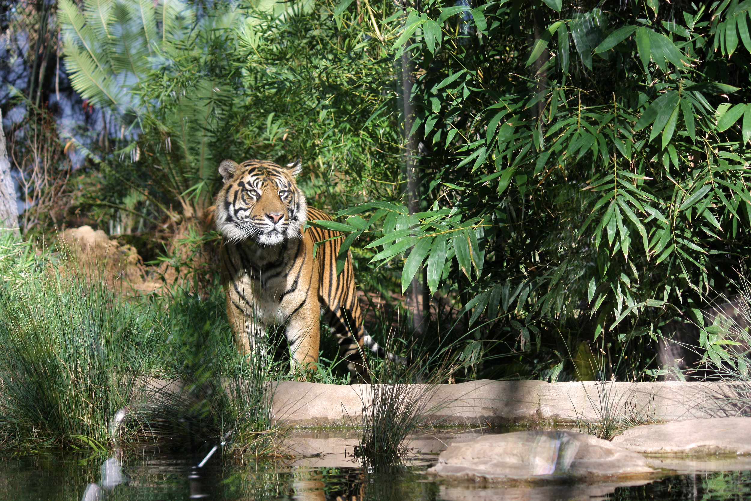 Tiger Trail   San Diego Zoo Safari Park    [All work and photography on this site is copyright 2014 Nicole Angeles.  Do not use or repost without permission.]