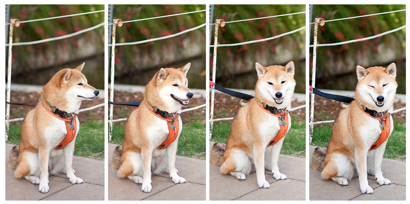 A cheerful Shiba Inu! // Photos by Nicole Angeles--please don't use or alter w/o permission. :) //
