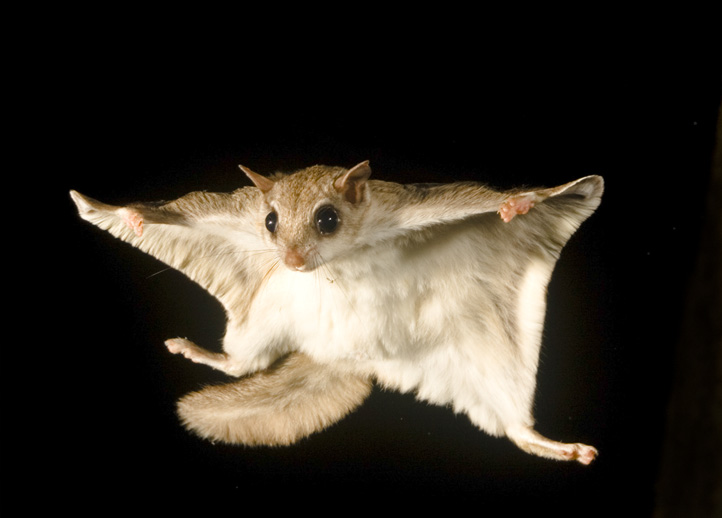 Southern Flying Squirrel 3344 .jpg