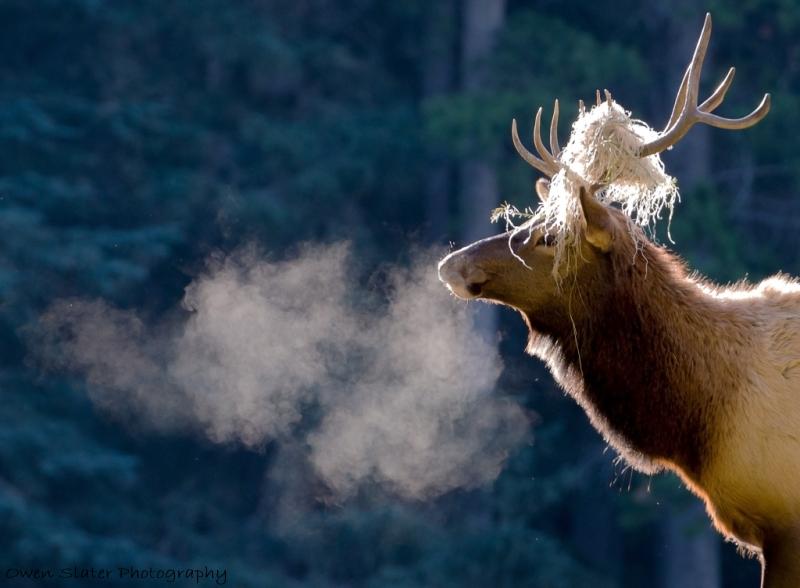 elk-exhale-antler-grass-wm.jpg