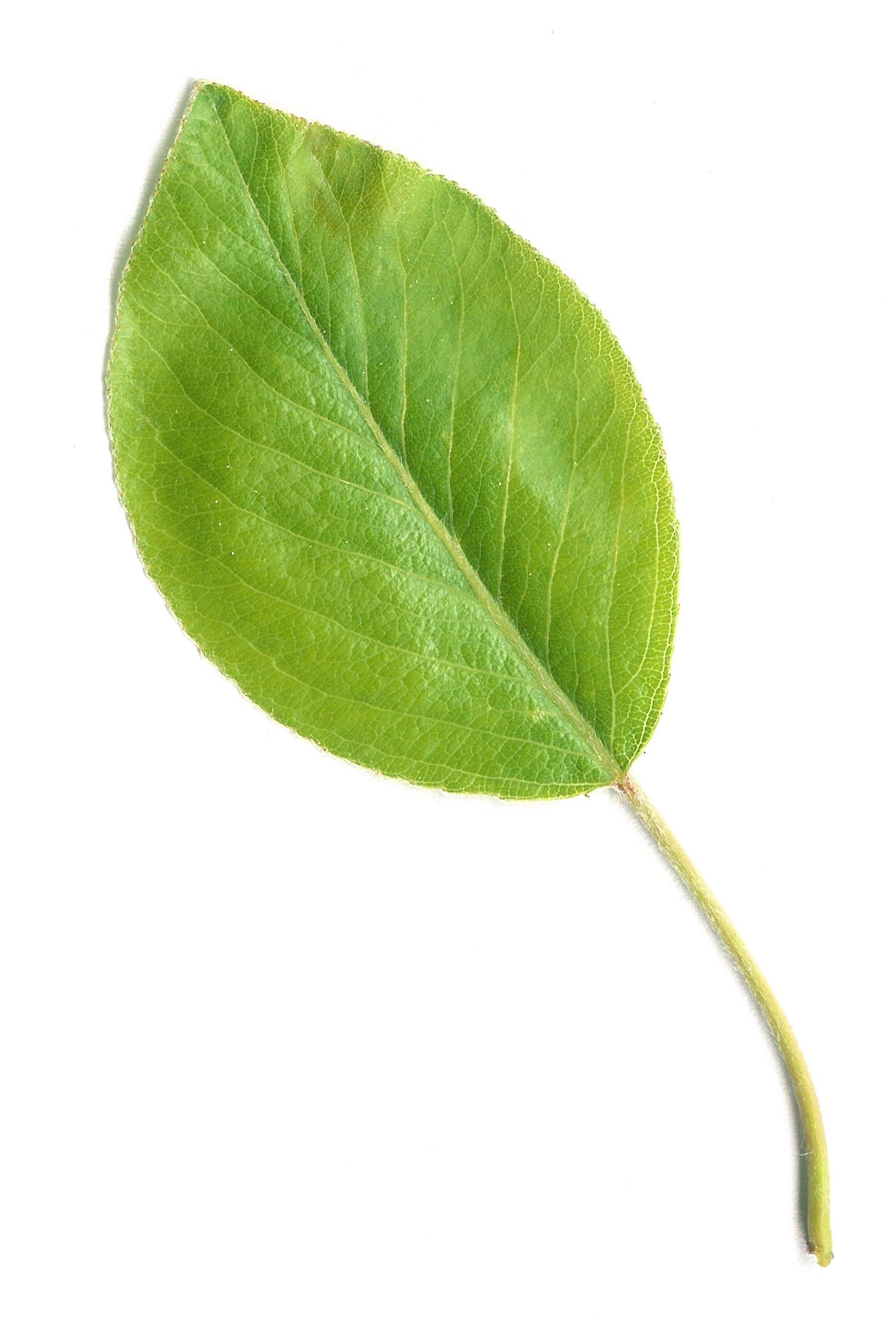 Pear_Leaf.jpg