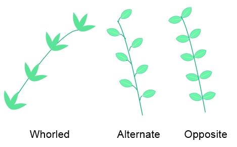 leaf-arrangement.jpg