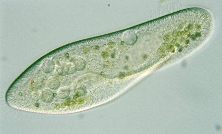 paramecium.jpg