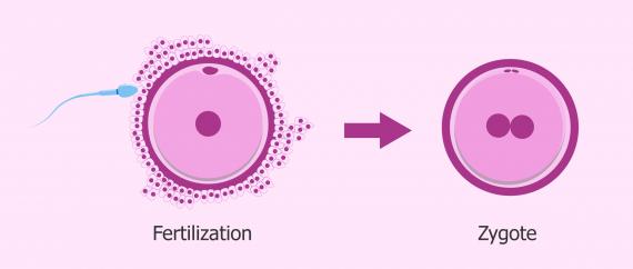 fertilization.jpg