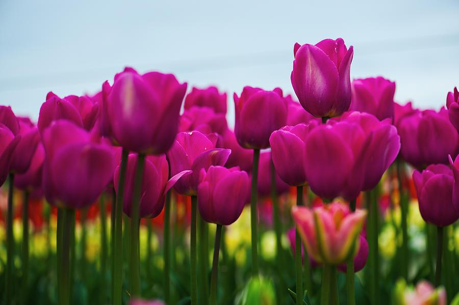 pink-tulip-hisao-mogi.jpg
