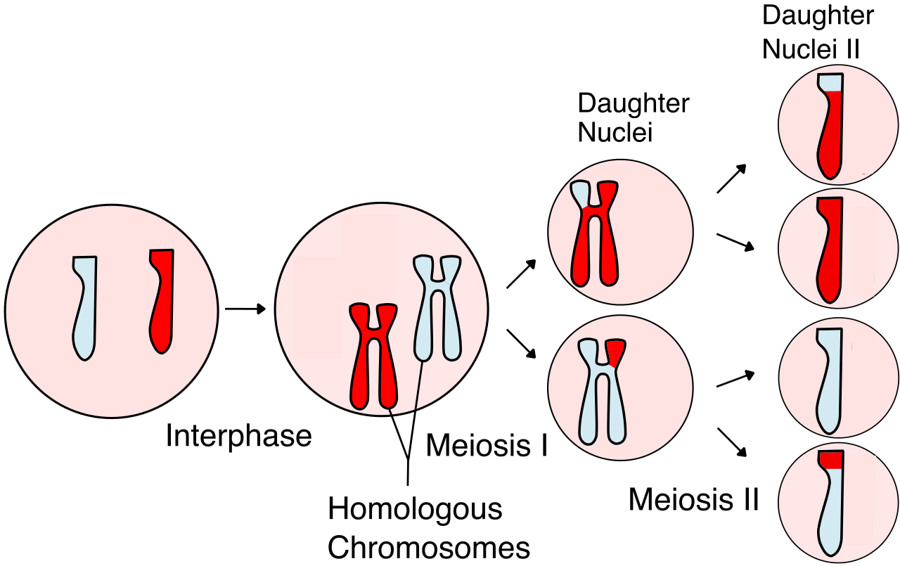 CELL STARTS OFF WITH 2 CHROMOSOMES, REPLICATES CHROMOSOMES, CHROMOSOMES CROSS OVER AND SPLIT INTO 2 CELLS, THEN SPLIT AGAIN INTO ANOTHER 2 CELLS, RESULTING IN 4 CELLS WITH 1 CHROMOSOME EACH