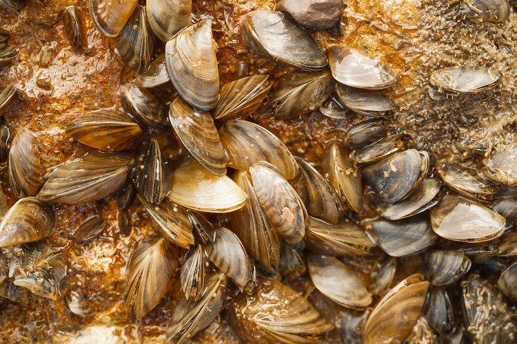 zebra_mussels_.jpg
