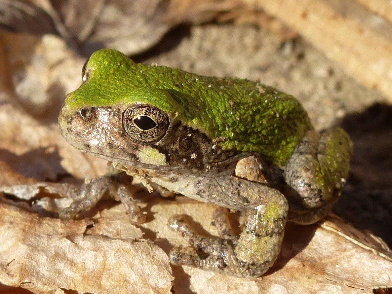 Gray_Tree_Frog,_Missouri_Ozarks.jpeg