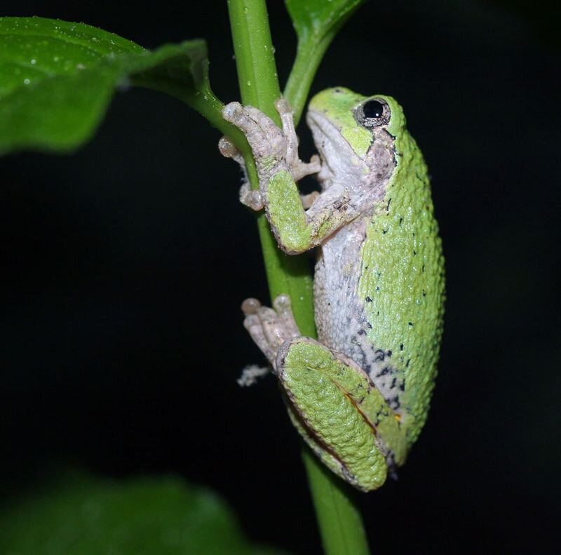 800px-Gray_tree_frog.jpg