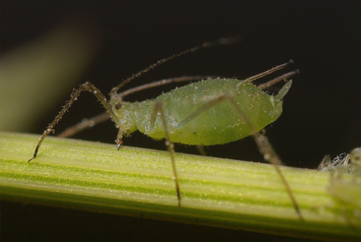 APHIDS CAN REPRODUCE WITHOUT FERTILIZATION DURING SUMMER