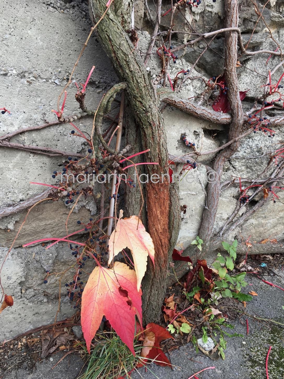 vine leaf