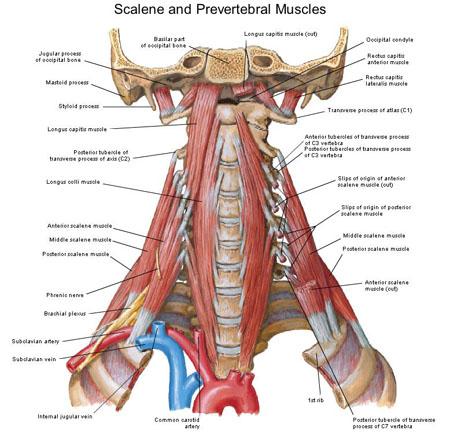 Deep Anterior Cervical Musculature