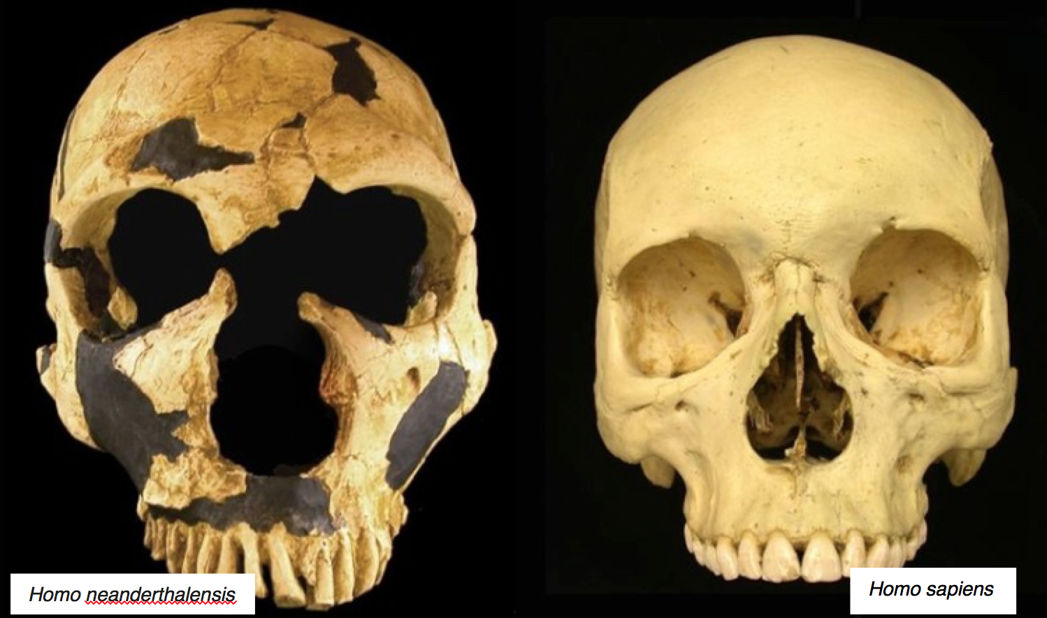 Figure 1. Comparison of a Neanderthal skull (left) with that of a Homo sapiens (Credit: Nathan Holton). Photo credit: https://www.newscientist.com/article/dn15042-why-did-neanderthals-have-such-big-noses/