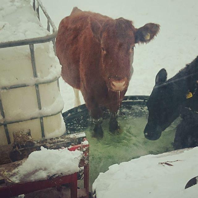 Skönt med ett klövbad när det är -10 grader ute, men vattnet håller nog iaf ett par grader över nollan. Eller så är vattnet helt enkelt godare i andra änden av karet... Är man döpt efter Pippi långstrump så ska man naturligtvis inte göra som alla andra 😊 #afmarjum #ekologiskt #lantliv #lantbruk #kossor #pippilångstrump #vinterbad #angus #kossor