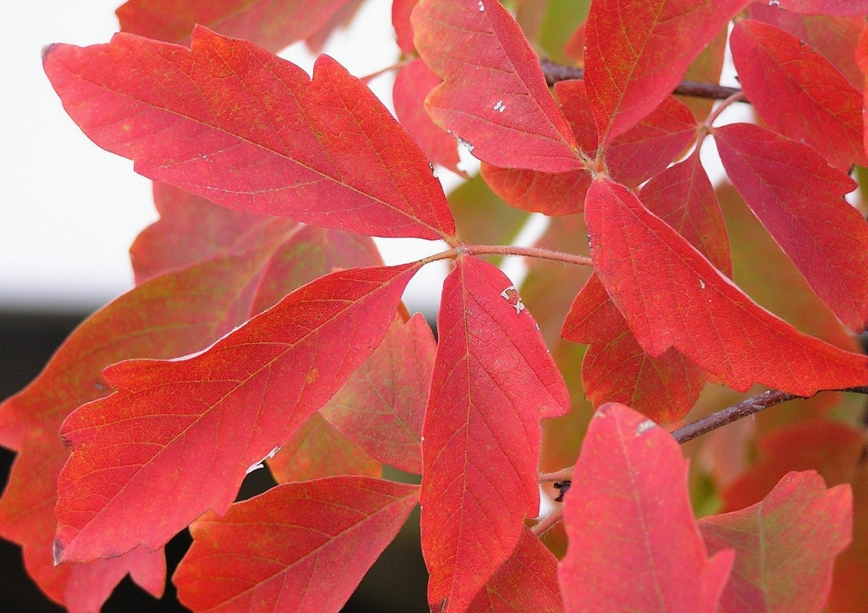 Acer griseum_leaf_fall-02.JPG