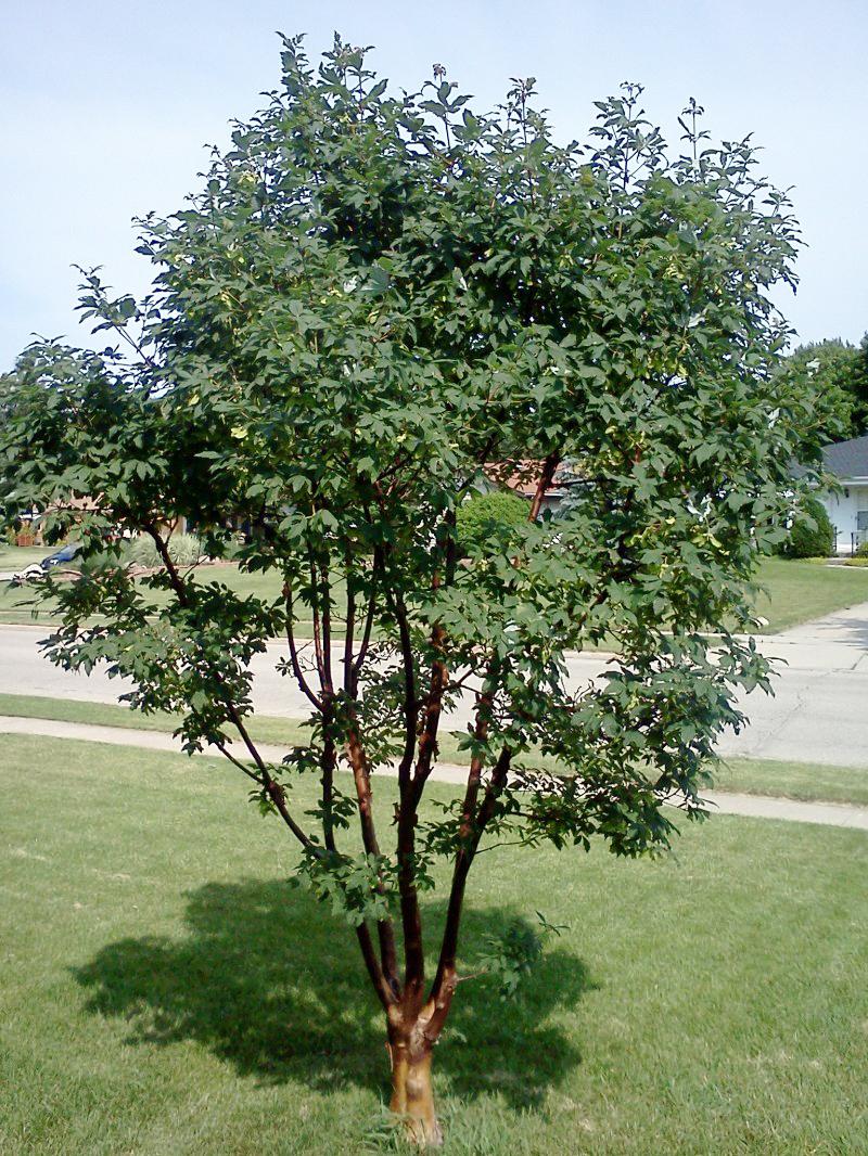 Acer griseum Paperbark-maple-summer-foliage-e1346720643755.jpg
