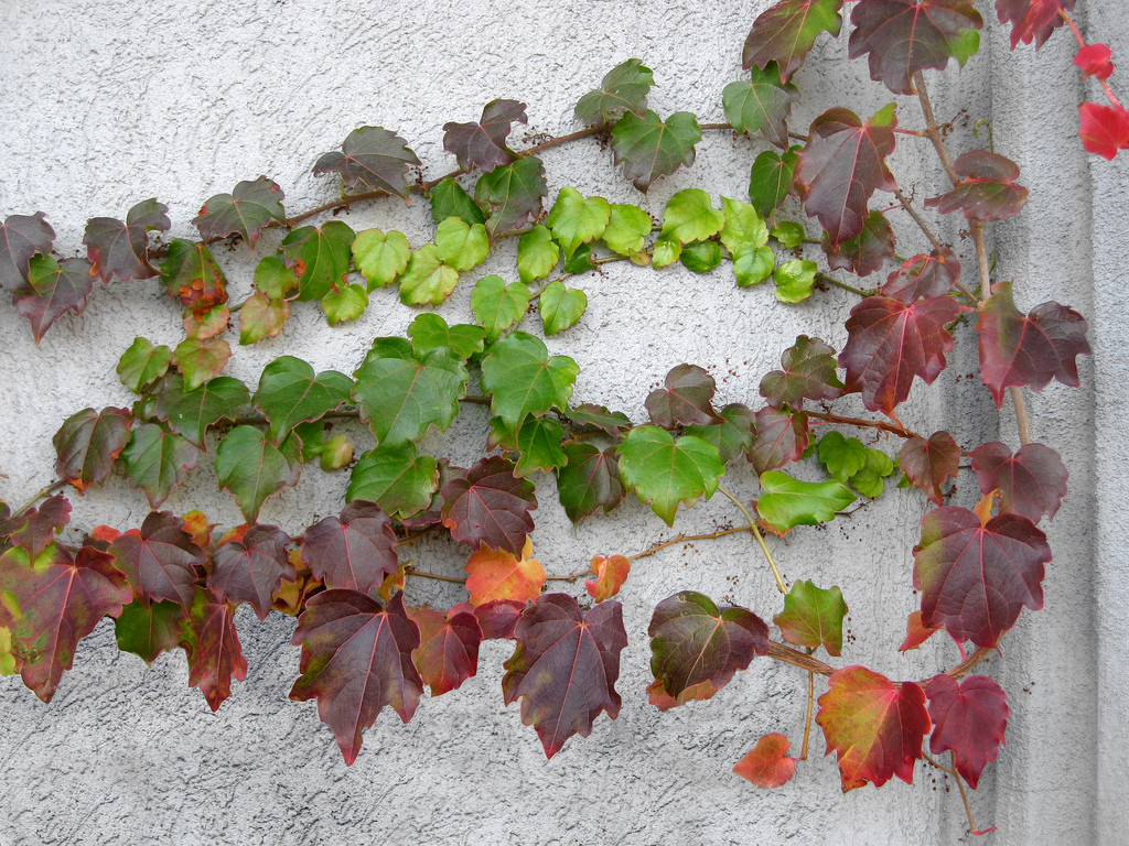 Parthenocissus_tricuspidata__Boston_Ivy-02.jpg