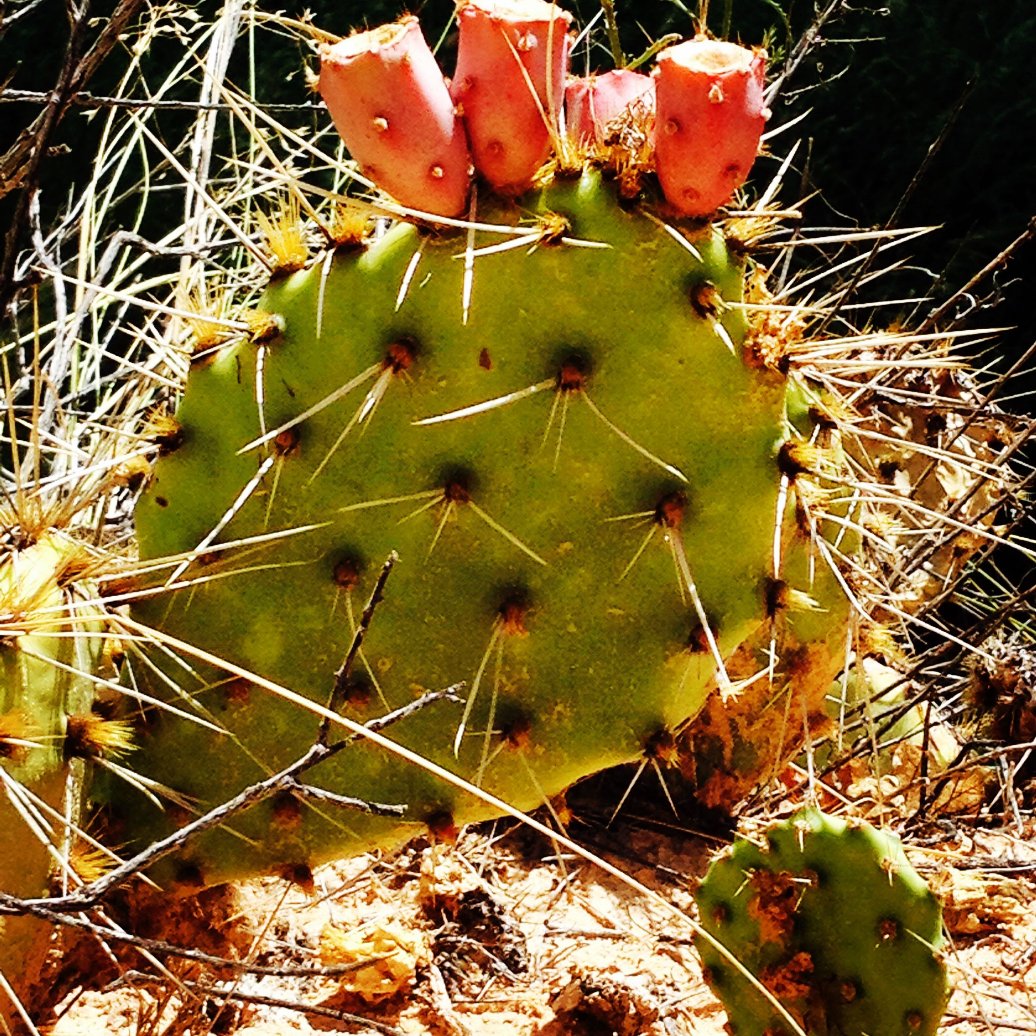 The desert colors are intense, this gorgeous cactus was preening on a hike to Calf Creek Falls in Escalante, Utah.