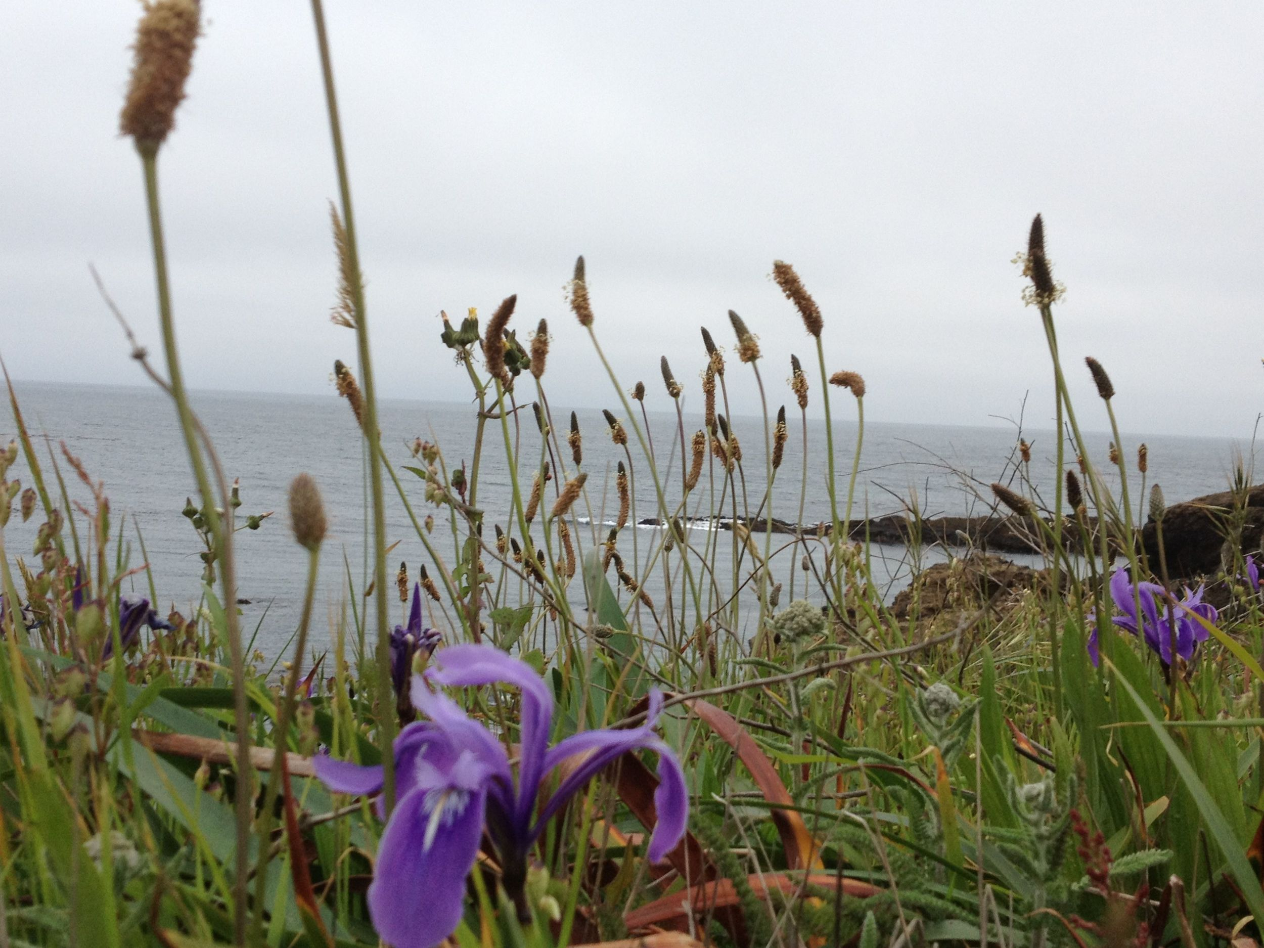 Wandering the bluff in Mendocino, CA you can count on the usually diffused grey days which, like the desert, makes the colors of these wild Irises pop.