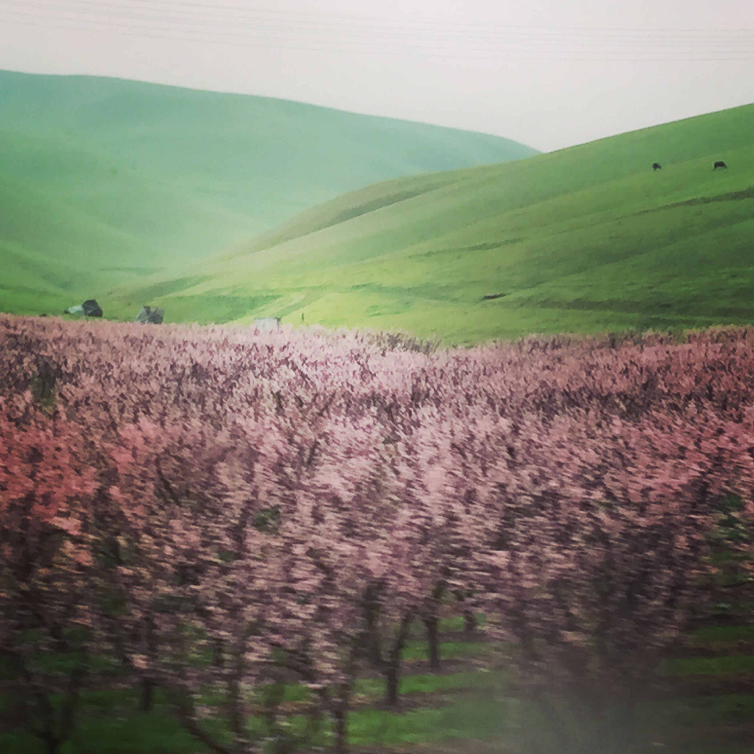 Cherry Blossoms on the Altamont Pass which brings you from the Bay Area into the Central Valley of California where much of the food in our country is grown. It happened to be quite green at the time.