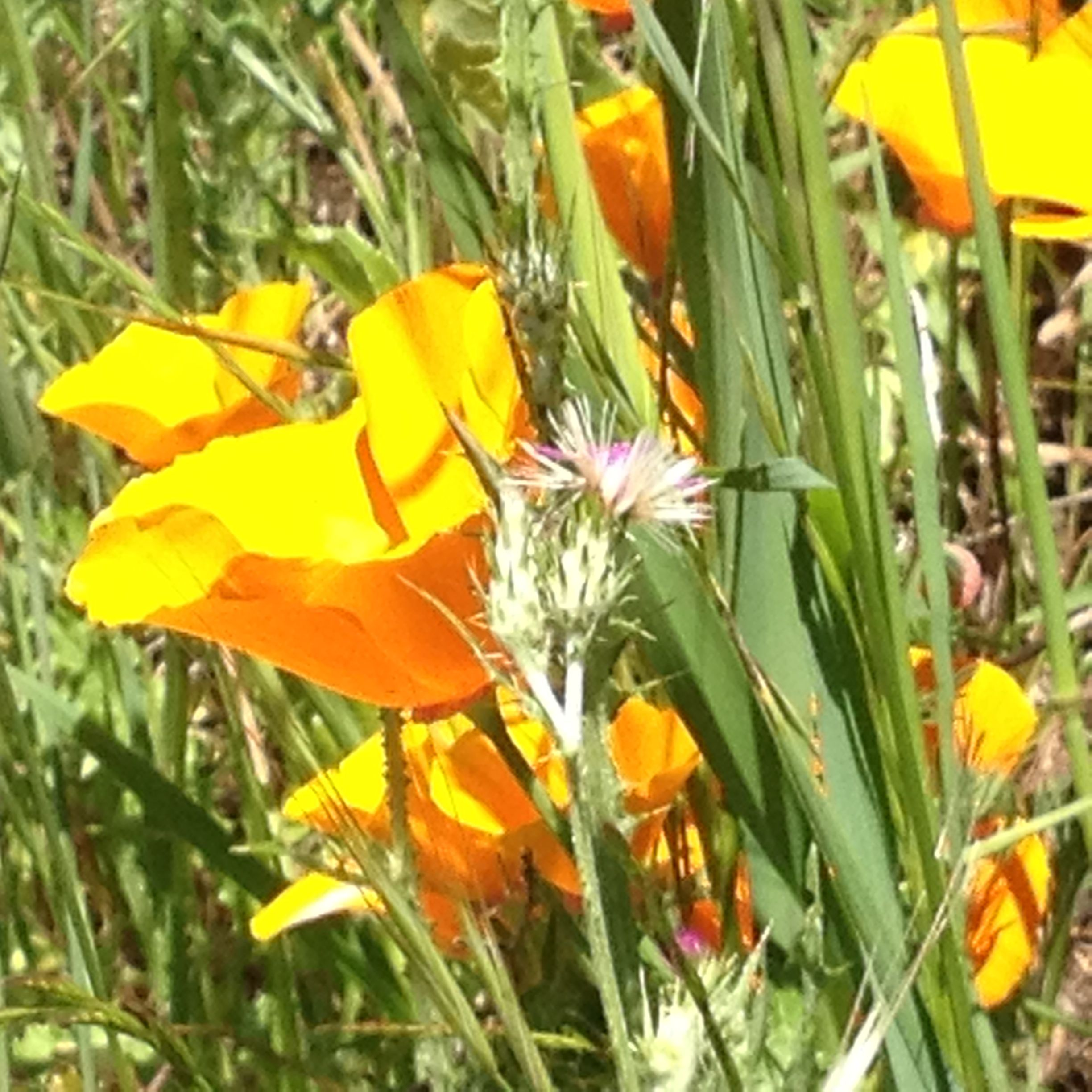 California Poppies, the state flower, usually bloom after the rains...somehow, they've bloomed this year after enough fog. They are the quintessential California sunshine color...evoking the brightness of the sun and the colors of california that have been expressed in landscapes for decades.