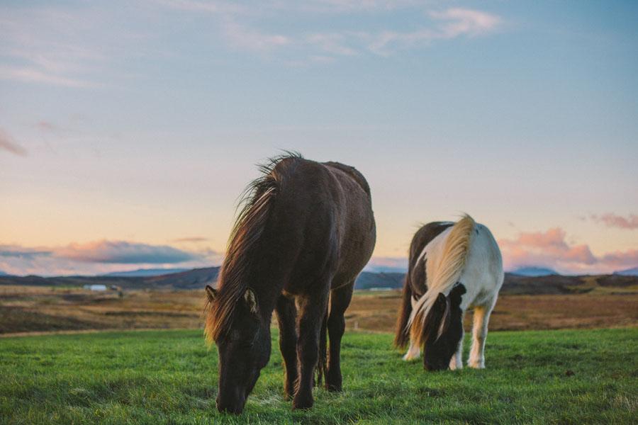 Icelandic horses-5059.jpg
