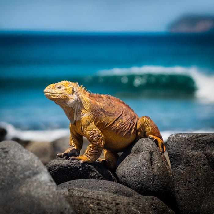 iguana.jpeg