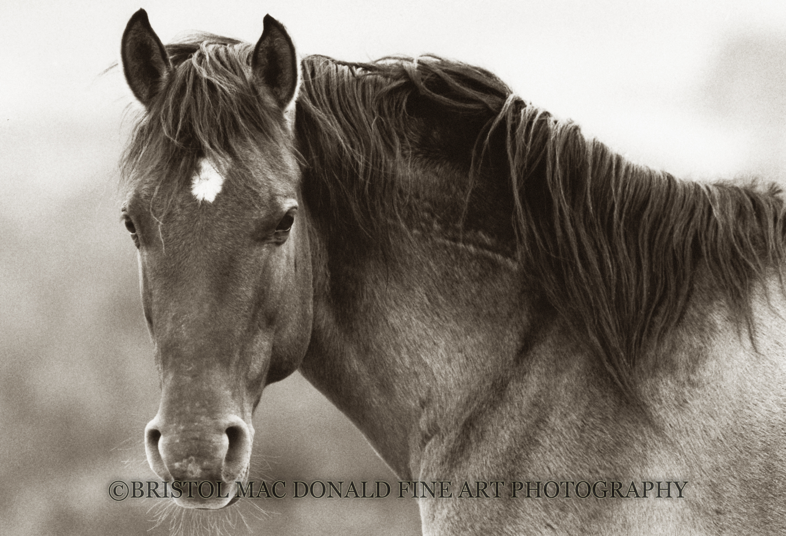 Bear - Sulphur Springs Stallion