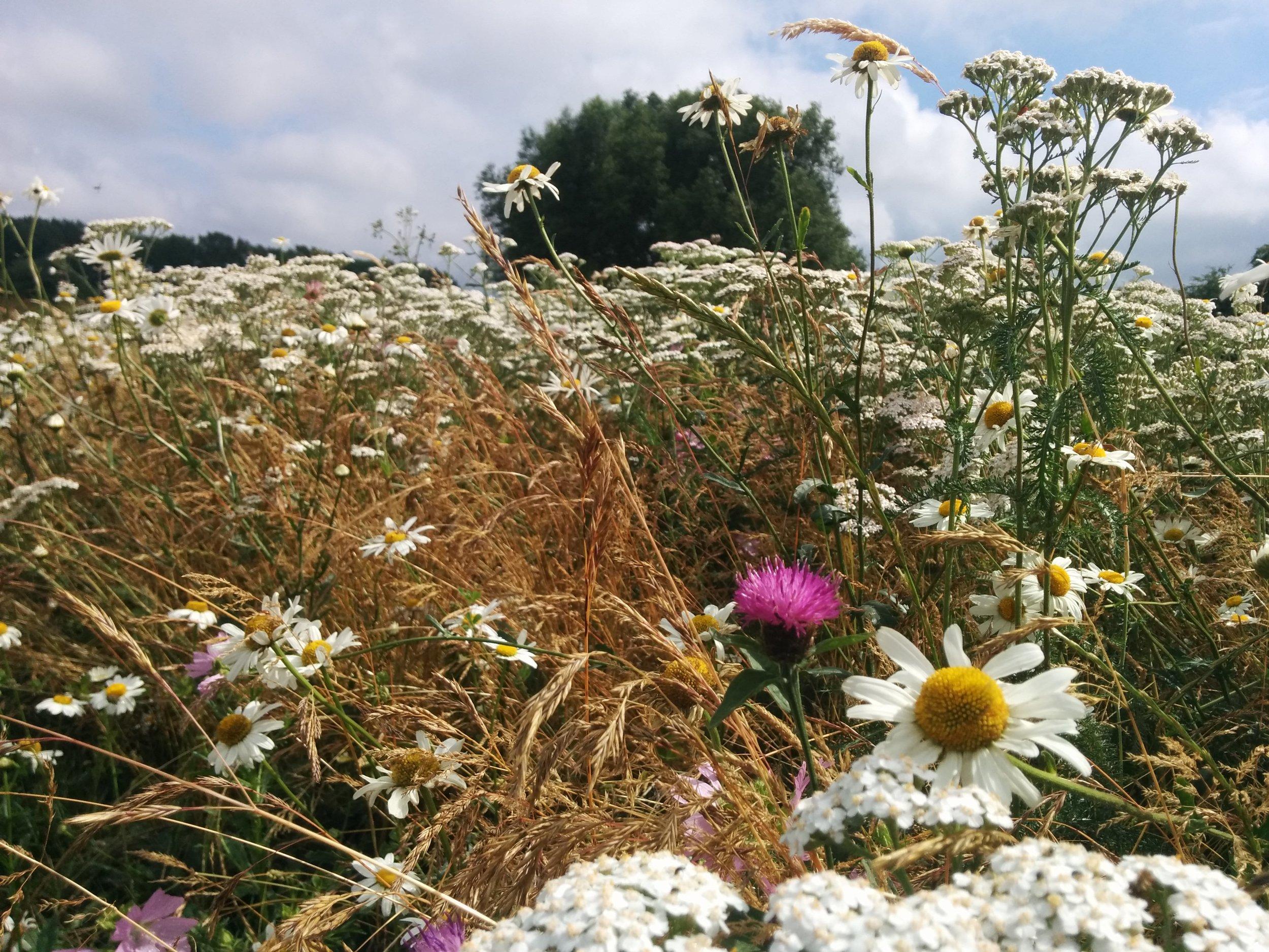 Chiltern wild flower meadow