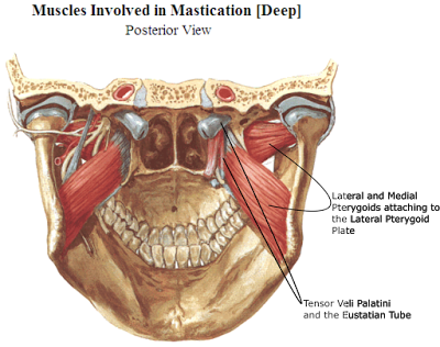 PTERYGOID MUSCLES OPEN THE JAW