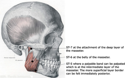 Masseter opens and closes the jaw