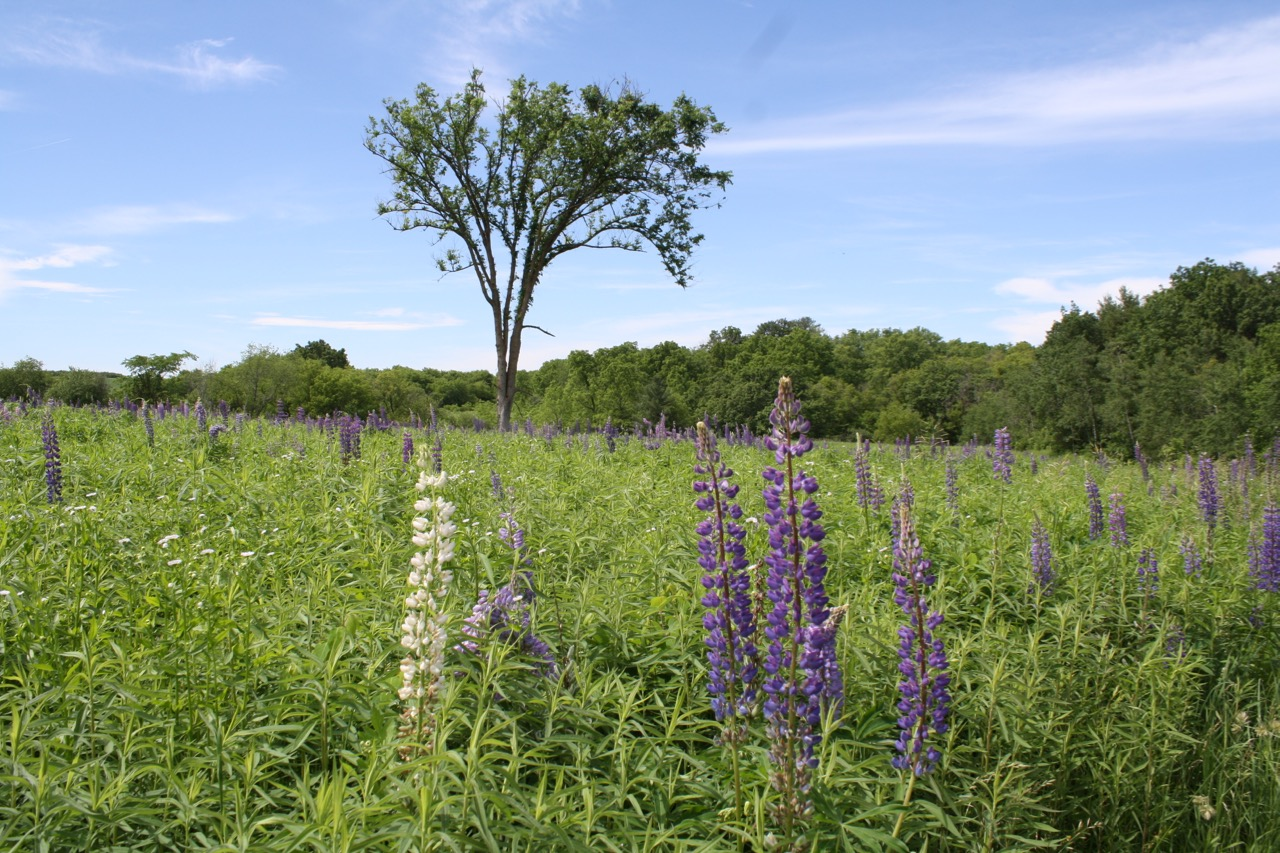 White Lupin,Governor Dodge State Park