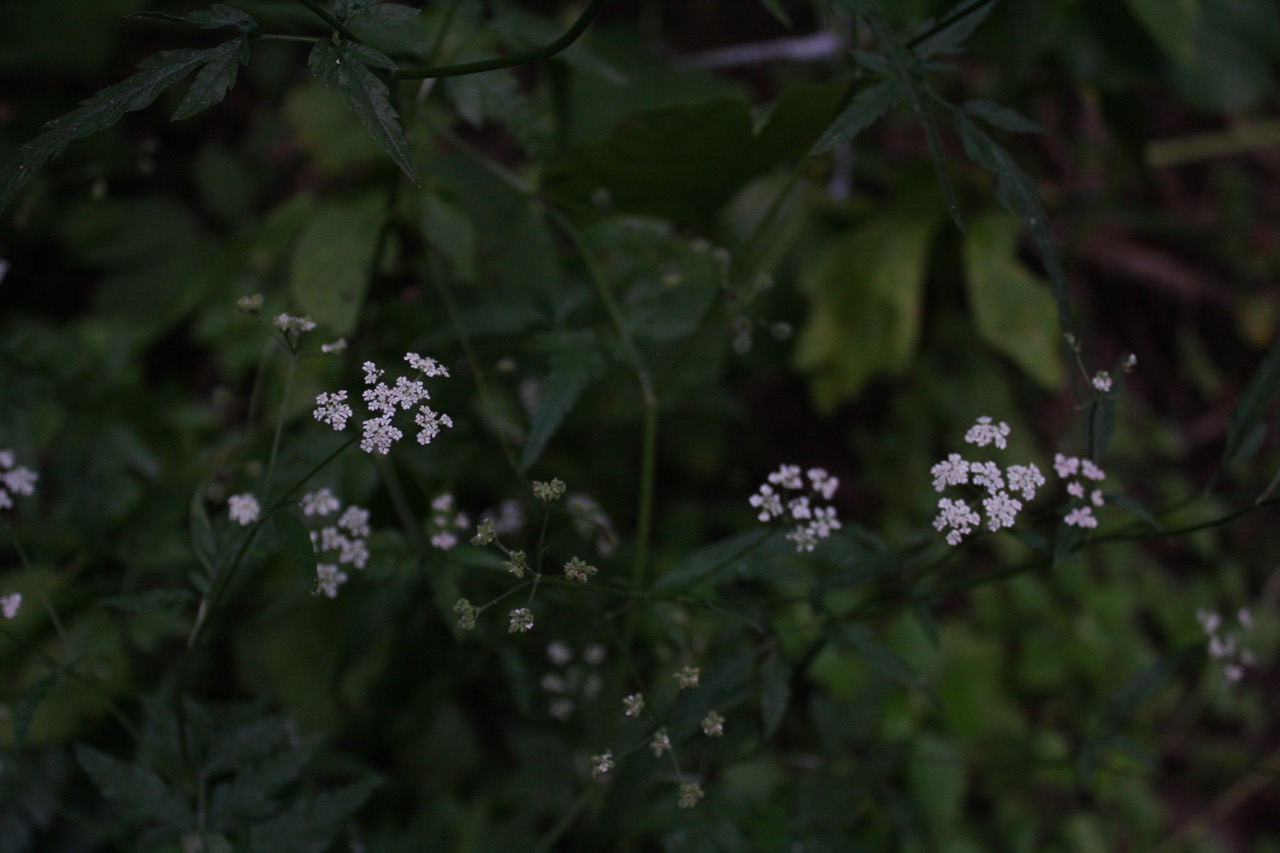 Hairy Sweet Cicely