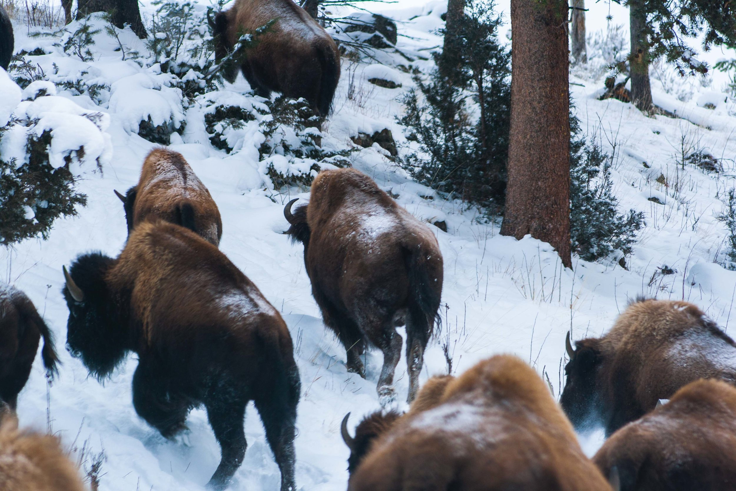 Yellowstone National Park, Wyoming. December 2014