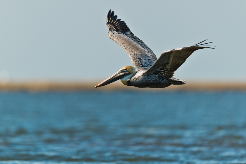 Brown Pelican while Fly Fishing New Orleans Louisiana Marsh
