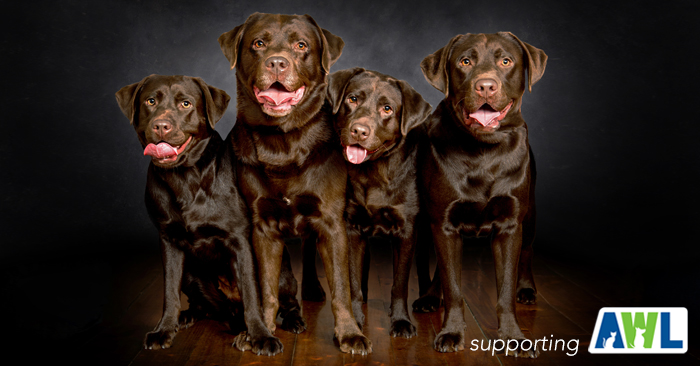 labrador photography 4.jpg