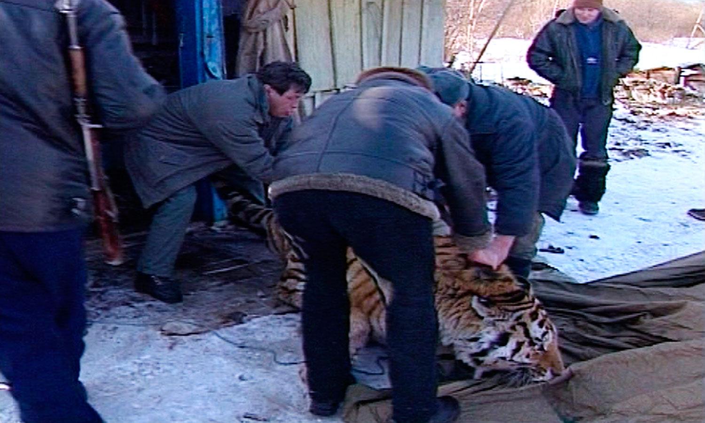 11_Tiger_Shed-WEB.jpg