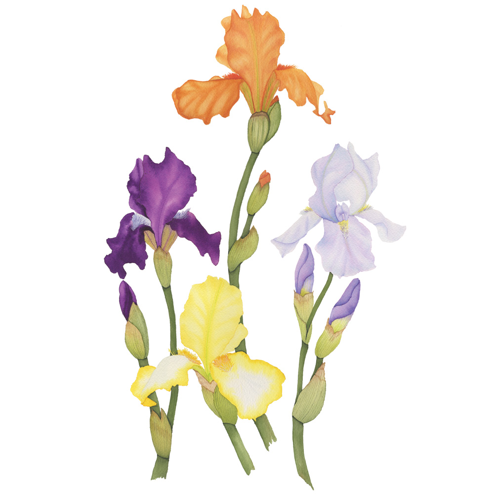 Four Colorful Spring Iris Stems Botanical Watercolor Painting by Anne Butera