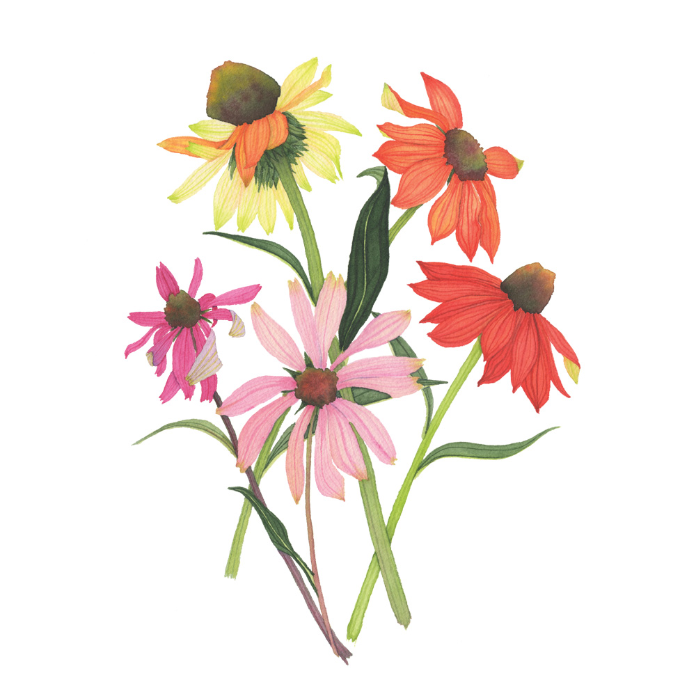 Colorful Coneflowers Botanical Watercolor