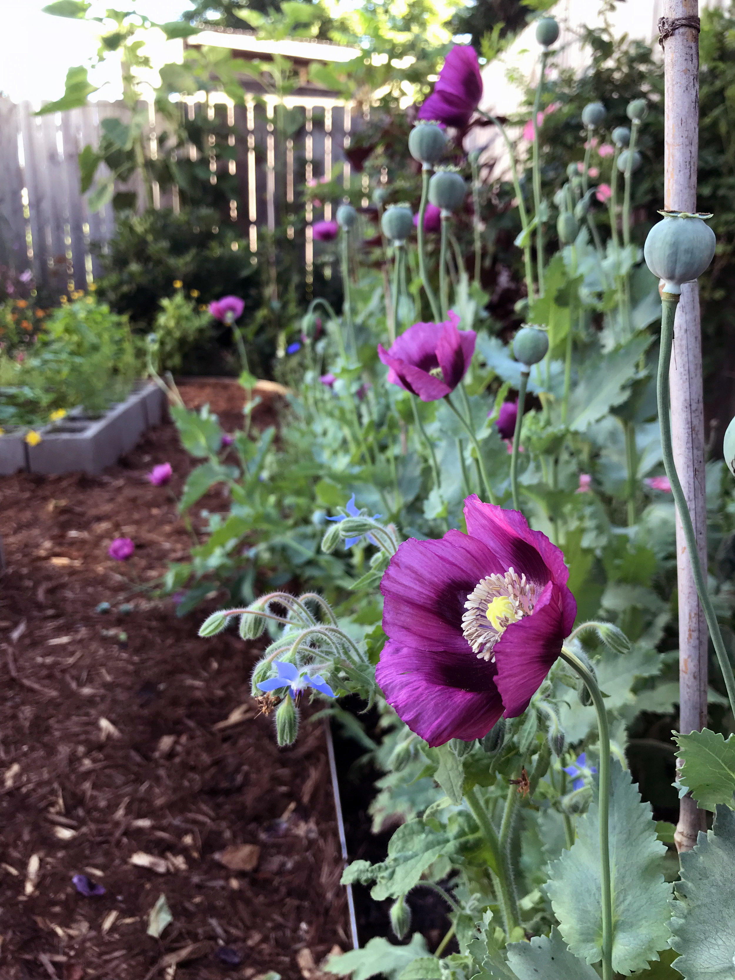 A View in My Garden with Lauren's Grape Poppies Blooming Beside Borage