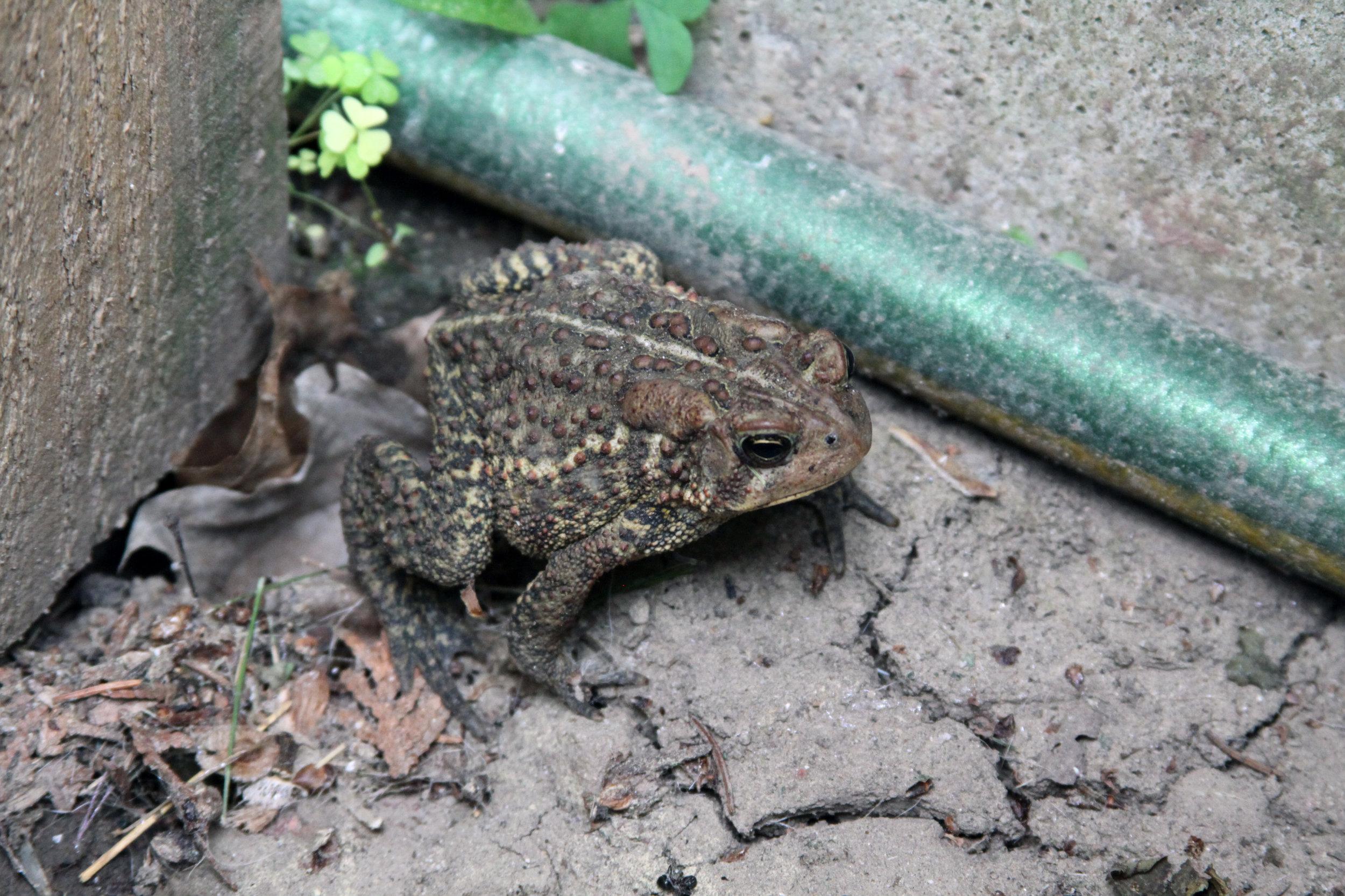A Garden Toad