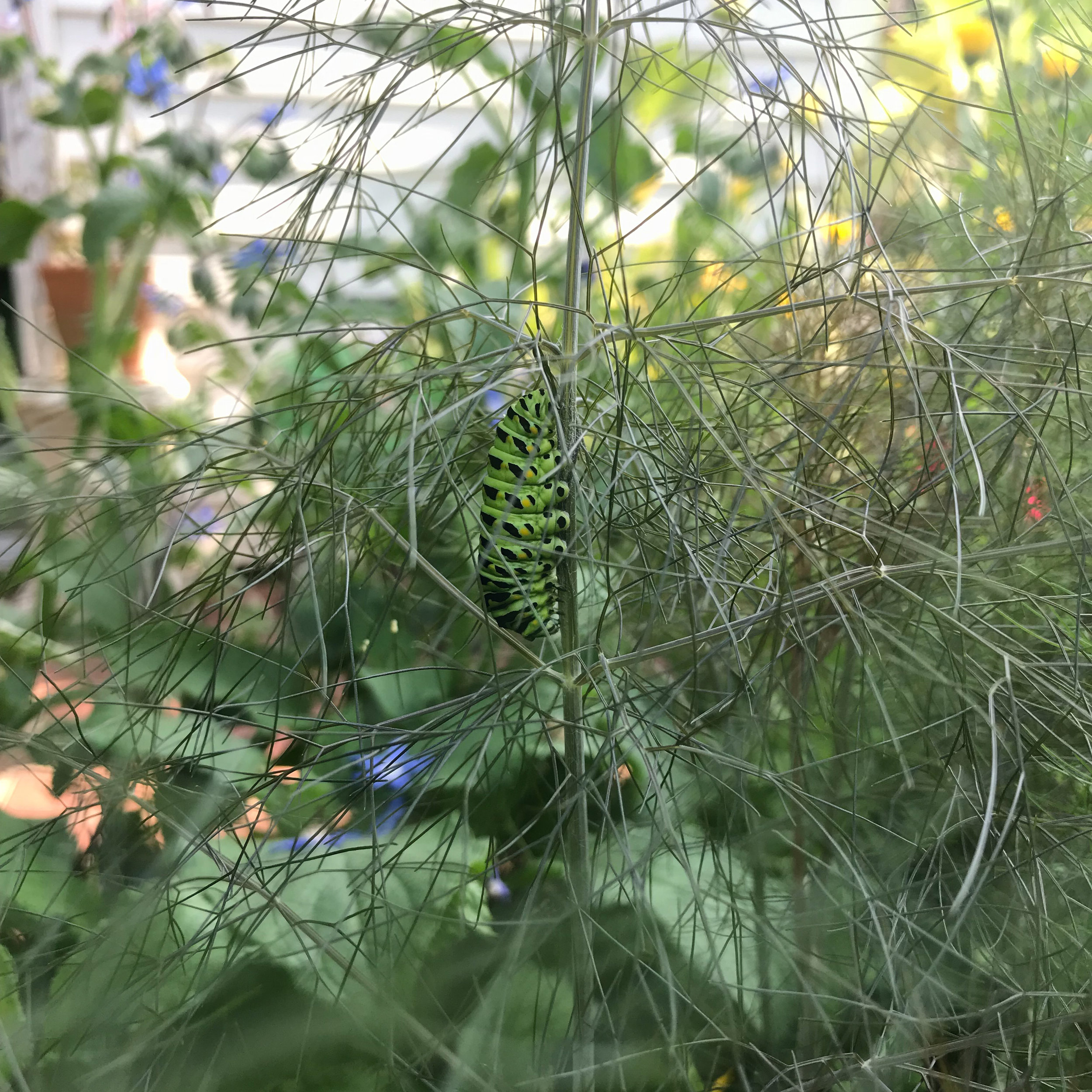 A Black Swallowtail Caterpillar Getting Ready to Pupate