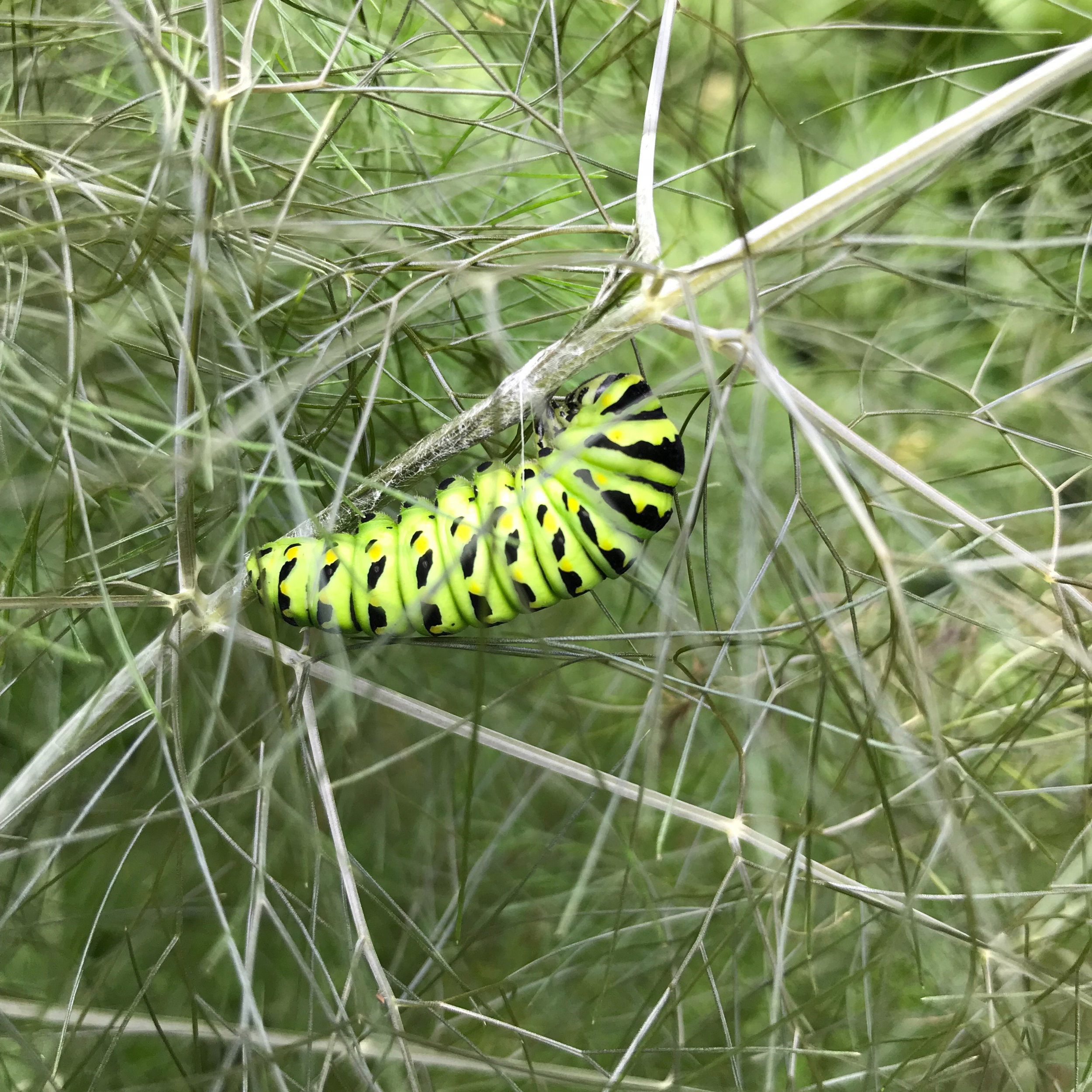 A Black Swallowtail Caterpillar Attached to a Stem of Fennel with a Silk Thread and Getting Ready to Pupate