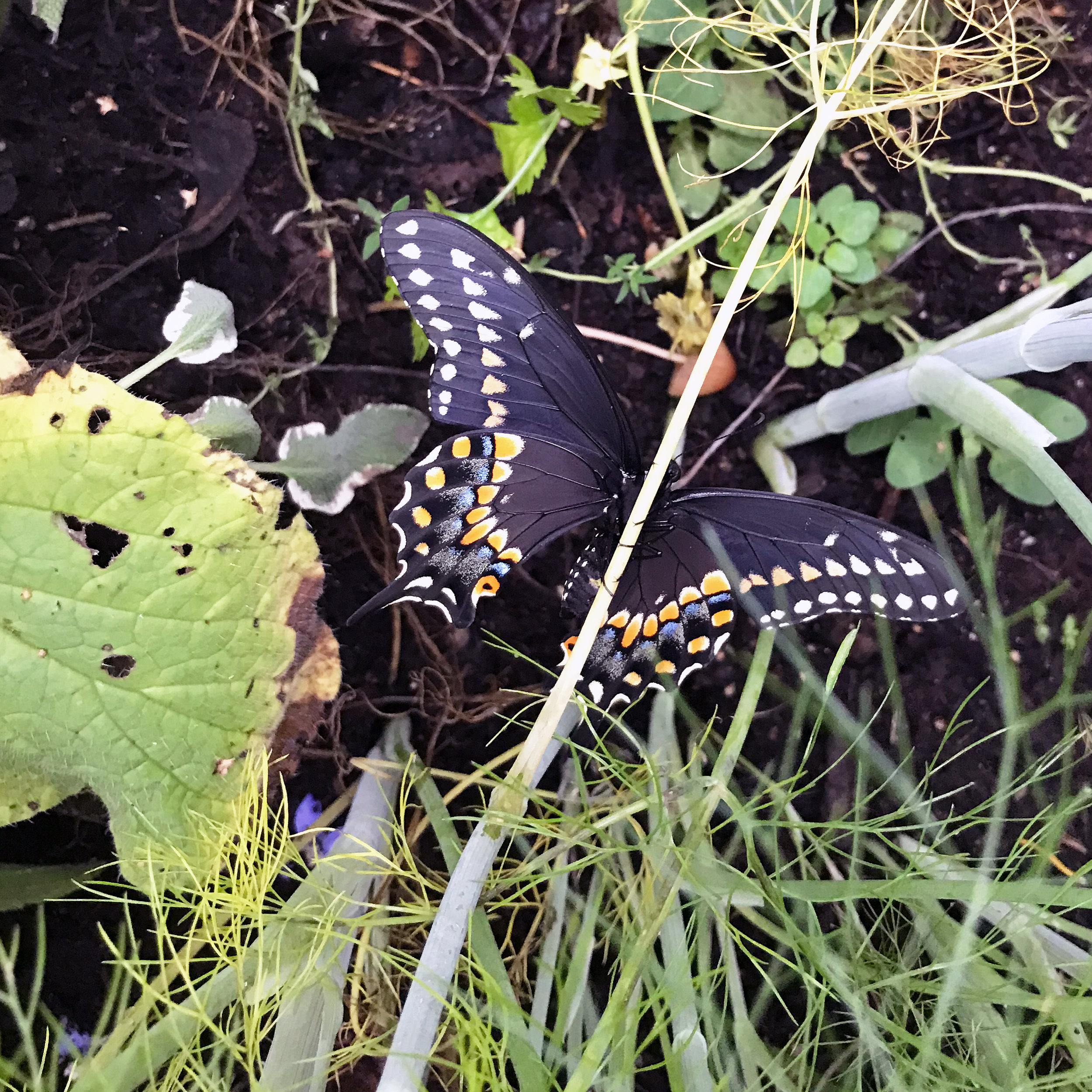 The Black Swallowtail Butterfly Emerged from Its Chrysalis