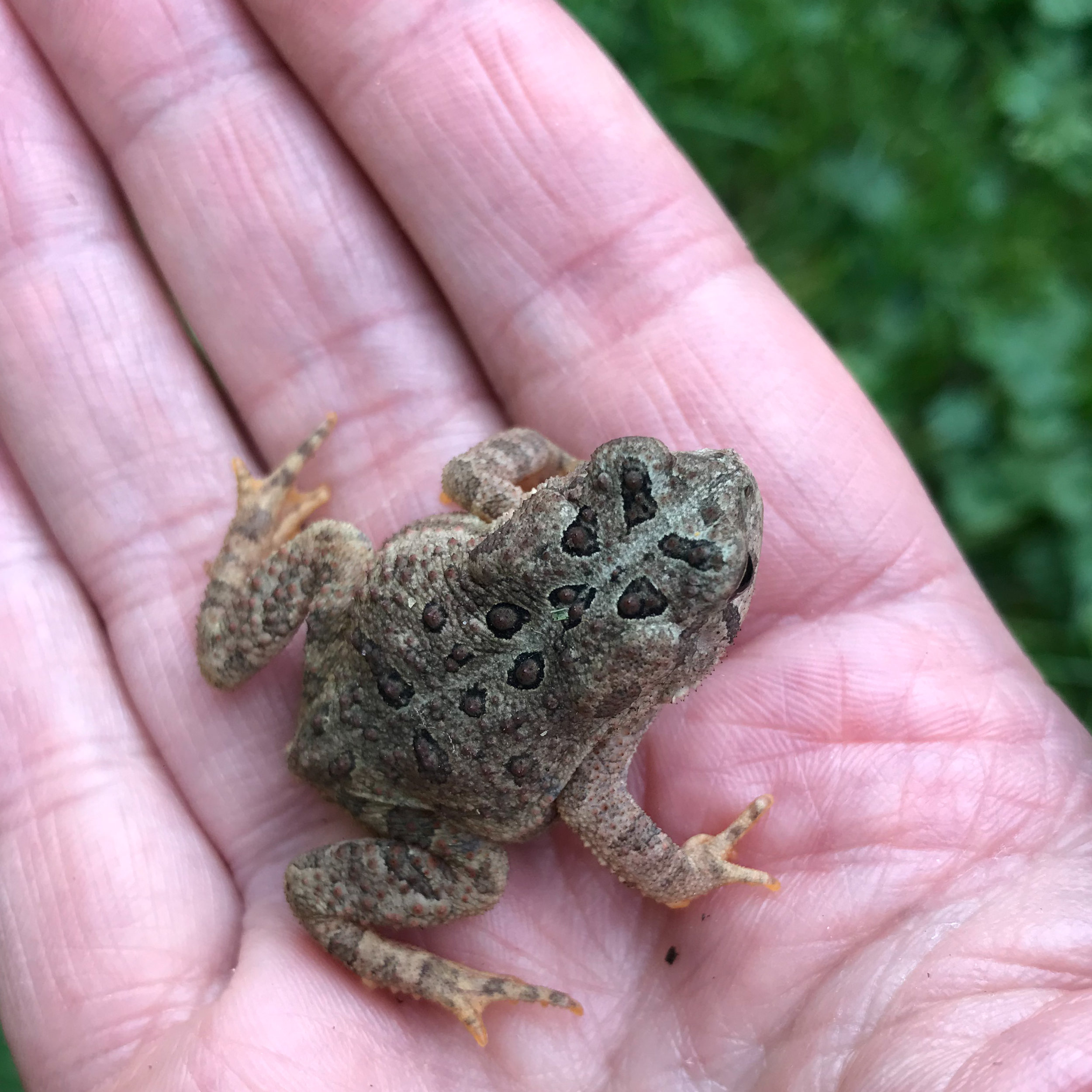 A little toad is a welcome garden visitor