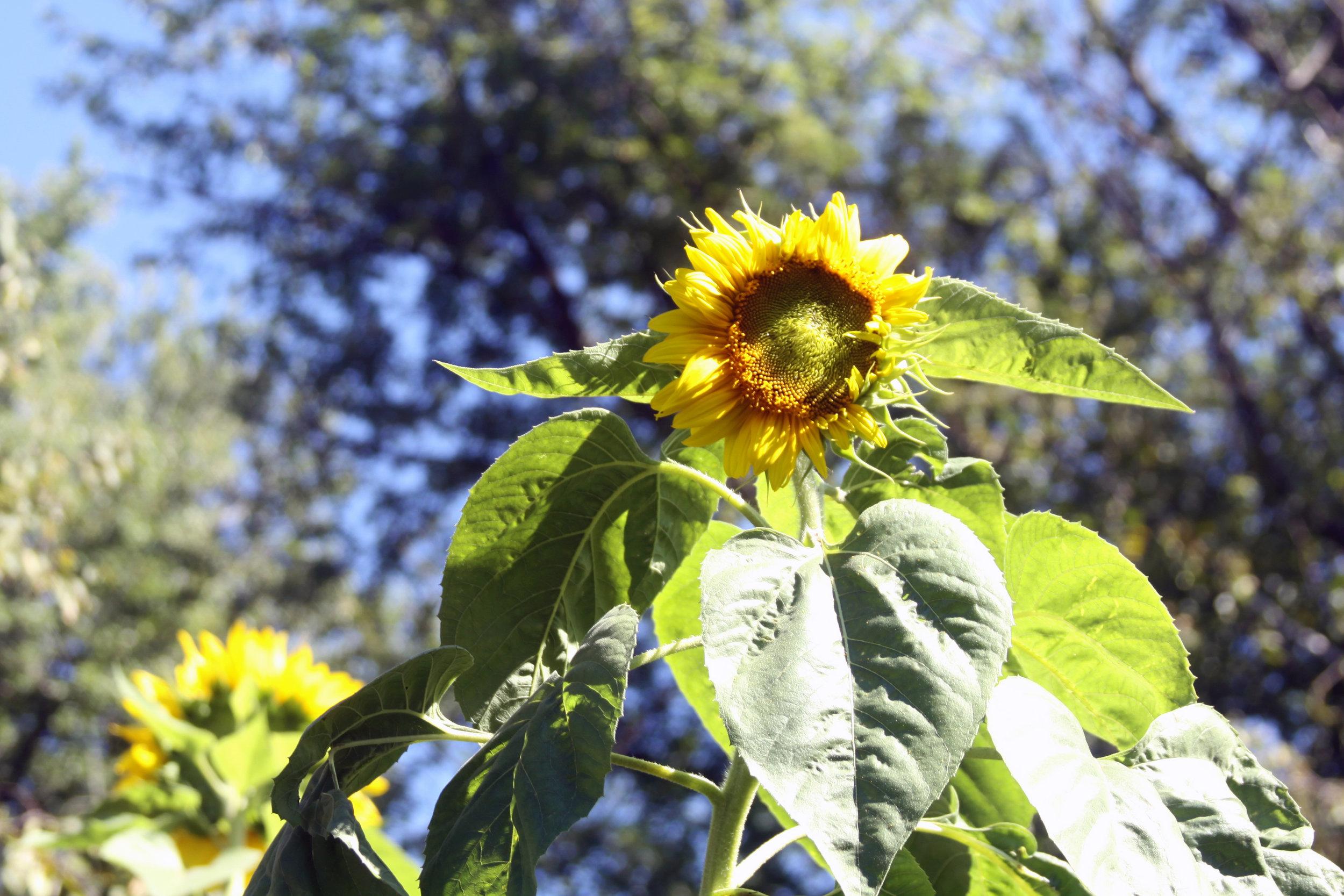Sunflowers Blooming in My September Garden
