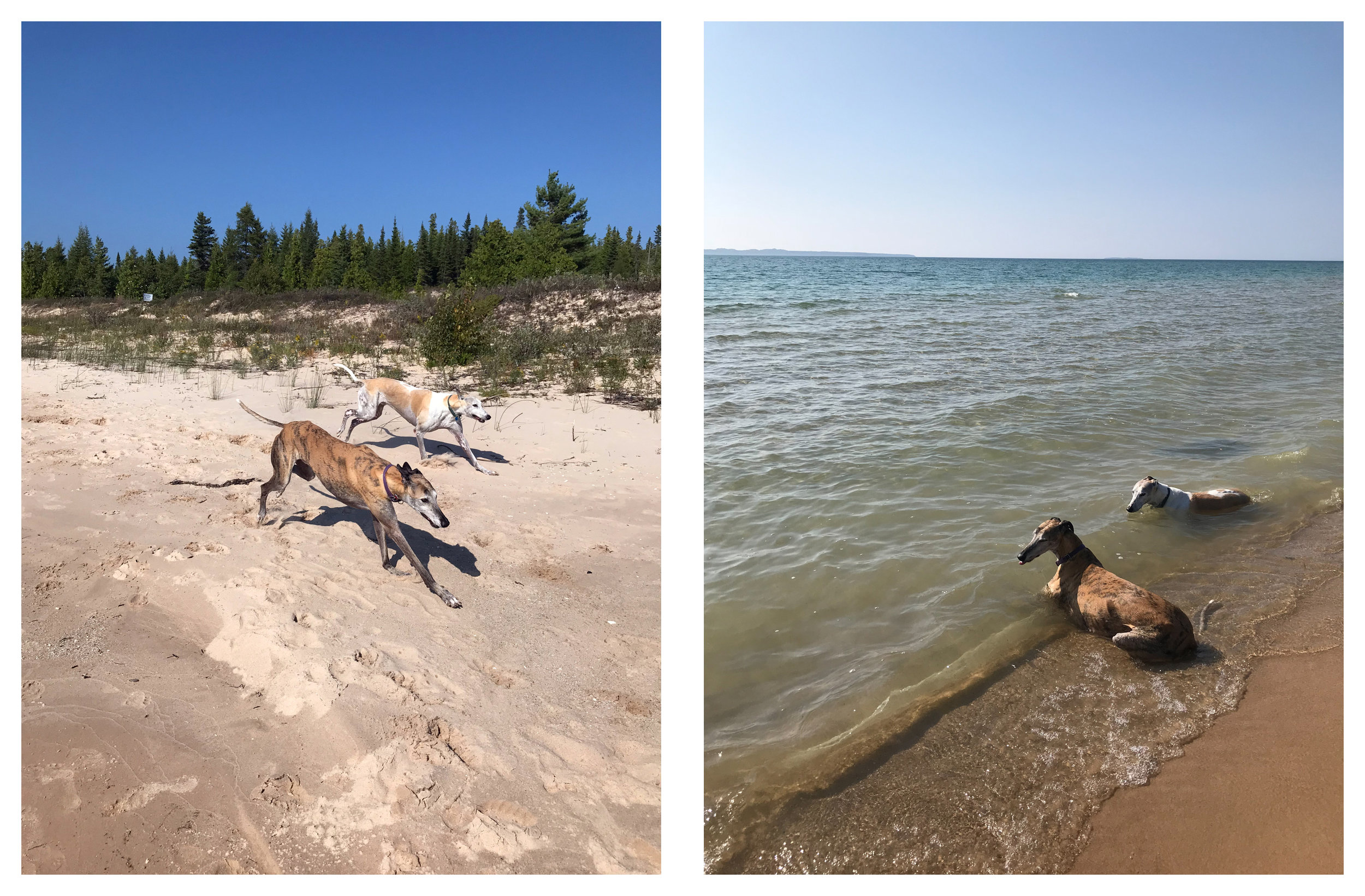My Two Retired Racing Greyhounds Love Running on the Beach and Lounging in the Water
